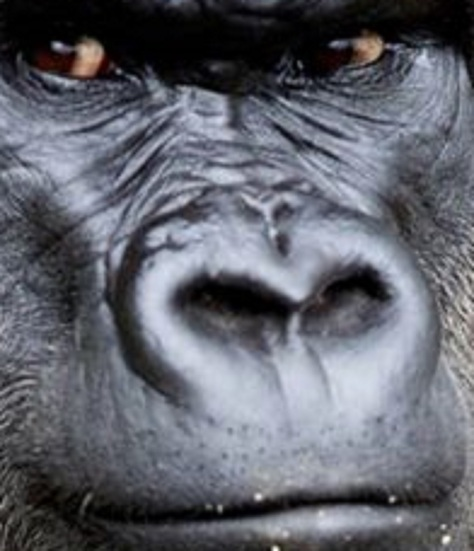 MAIN-Dublin-zoo-gorilla-dies-after-short-illness